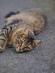 Kitty (mirsmir) Tags: cute green cat outside 50mm grey kitten floor stripes adorable kitty ground olympus 420 f e mm om f18 18 50 zuiko striped kittycat e420