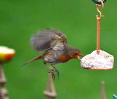 Robin feeding (Dave McGlinchey) Tags: robin birds feeding avian rspb gardenbirds