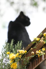 My Cat (haberlea) Tags: flowers cat fence blackcat garden mygarden