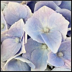 Blue (mmoborg) Tags: flowers sweden sverige blommor mmoborg mariamoborg