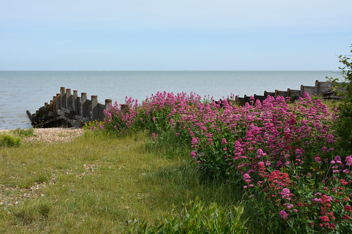 Valerian on the beach at Whitstable
