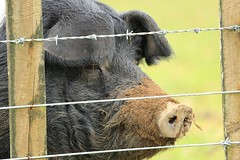 Friendly Chatty Big Pet Pig Behind the Fence in the Wop-Wops New Zealand (eriagn) Tags: trees winter sunset newzealand woman cloud lake snow abandoned wet leaves weather animals reflections landscape pig twilight kayak waves power starfish yacht transport shed scenic ducks stormy vehicles goats limestone electricity northisland trucks mussels pylons sparrows cabbagetree seller laketaupo raffle woodville woolshed mussells centralplateau volcanicplateau eriagn ngairelawson ngairehart australiscordyline rainbowdesertroad