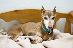 Cocoa (Save-A-Pet Adoption Center) Tags: dog female cocoa adopted miniaturepinscher rainbowbridge specialneeds saveapet 2013 permanentfoster