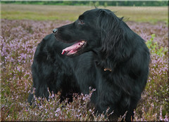 Heather Days (Missy2004) Tags: dog heather retriever missy flatcoat newforest shatterford nikkorafs18105mm3556ged