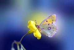 colias philodice (Ignazio Corda) Tags: butterfly papillon farfalla colias philodice nikond300 beautifulmonsters photobyigcor