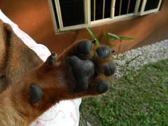 DSCN5339 (Caro Z.) Tags: baby me grass garden puppy ventana paw nikon mine arm body jardin perro cachorro boxer bebe perrito pata huella windw