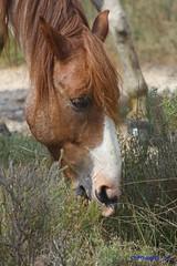 IMG_1828 (Pfluegl) Tags: wallpaper horse france animal cheval tiere frankreich christian pferd hintergrund pfluegl camarque pflügl chpfluegl christianpflügl