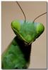Mantid Portrait (Sergio Battaglia) Tags: sergio canon italia colore estate natura campagna toscana animali insetti maremma caldo macrofotografia follonica eleganza greatphotographers specanimal joserg specinsect predatori naturewatcher mantidi macrolife thesecretlifeoftrees sergiobattaglia vosplusbellesphotos
