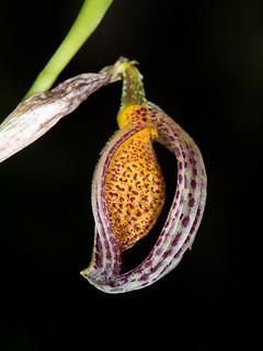 zootrophion argus