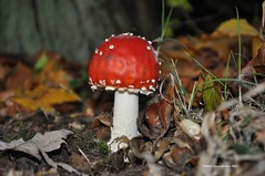 Fly Agaric (FLK) (Dom's Photo's) Tags: uk autumn red plant nature field leaves woodland countryside fly stem woods nikon view floor norfolk sigma ground scene farmland fungi soil hedge heath norwich vegetation fields toadstool birch dominic easton agaric poisonous hedgerow heathland hedges sighting flyagaric composting undergrowth hedgerows eastoncollege micologist ukbirder