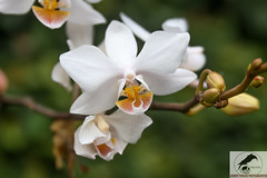 White Dendrobium (joseph.topacio) Tags: orchid flower macro nature closeup canon joseph eos rebel is buds usm dendrobium ef 28135mm topacio 650d t4i eflens josephtopacio