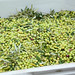 2013 Jordan Olive Harvest 016
