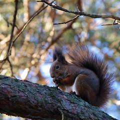 Orav (Jaan Keinaste) Tags: fauna estonia pentax eesti k7 orav pentaxk7