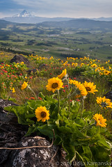Hood River Valley and Spring Wildflowers (Lidija Kamansky) Tags: flowers mountains nature oregon rural landscape outdoors valley wildflowers mounthood indianpaintbrush balsamroot arrowleafbalsamroot hoodrivervalley