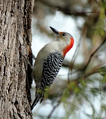 Woodpecker (KoolPix) Tags: tree bird nature animal woodpecker ngc beak feathers bark naturephotography naturephotos jayd naturephotographer animalphotographer koolpix photocontesttnc12 jaydiaz jaydiaznaturephotographer photocontesttnc13 dailynaturetnc13 wcswebsite photocontesttnc14 dailynaturetnc14