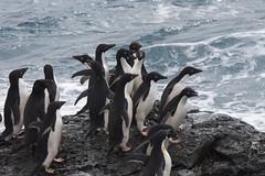 Antarctica - Day Two0237 (GLRPhotography) Tags: penguin antarctica adelie 100400 over200 gourdin