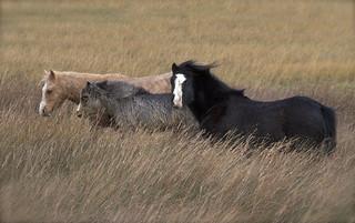Marsh ponies     [ Explored ]