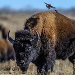 There's Plenty of Room! (craig goettsch) Tags: urban nikon colorado wildlife ngc starling denver npc bison d610 greatphotographers rockymountainnationalwildliferefuge nikkor500mmf40