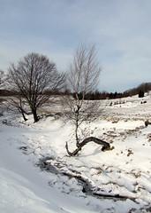 kirlyfi s koldus / Prince and Pauper (debreczeniemoke) Tags: winter snow tree forest landscape hiking prince transylvania fa tj pauper tjkp gutin erdly h tl erd tra koldus kirlyfi poianaboului canonpowershotsx20is gutinhegysg muniiguti krmez muniigutin