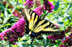 Eastern Swallowtail Butterfly (BlueisCoool) Tags: flowers plant flower color nature butterfly insect photography photo colorful flickr pretty foto image massachusetts sony picture newengland cybershot lepidoptera bloom capture gardencenter easternswallowtailbutterfly northattleboro briggsnursery dscw300
