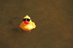 ducks-2013.jpg (James Popple) Tags: australia canberra australiancapitalterritory