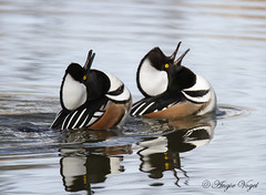 Hooded Merganser Display (Angie Vogel Nature Photography) Tags: wildlife waterfowl courting displaying merganser hoodedmerganser ridgefieldnationalwildliferefuge