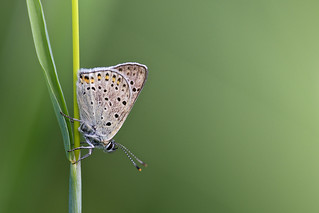 Lycaena tityrus (Sooty Copper, bruine vuurvlinder)