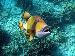 Snorkeling (s_st) Tags: fish coral thailand underwater snorkeling snorkling reef similan