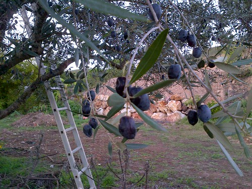 Olives at Vale do Sol 98700436
