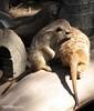"8x10 MERKATS 130 A (Dancing with Ghosts Graphics) Tags: ca copyright cute animal mammal meerkat pups graphics small gang mob hemet clan mongoose angola sentry suricate copyrighted burrows suricatta dwg desert"" merkats diurnal 2013 photographiy fawncolored herpestid iteroparous ""kalahari ""namib debbrawalker feliform dancingwghosts ""suricata suricatta"" dwggraphics ""botswana"" oraging siricata"" majoriae"" iona"""