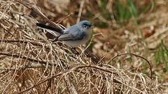 Blue-gray Gnatcatcher (male) (Bill Bunn) Tags: maine falmouth bluegraygnatcatcher avianexcellence