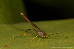 Ichneumon wasp (kasia-aus) Tags: macro nature insect skinny wasp australia canberra