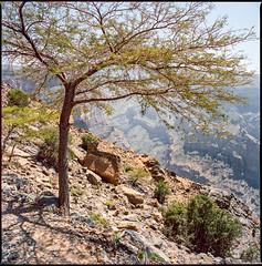 resistance (Trillian Petrova) Tags: mountains tree 6x6 film analog square landscape travels kodak canyon scan arabia mf oman portra160 bronicas2a