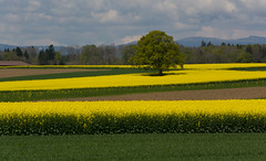 Colza fields (bertrandwaridel) Tags: trees mountains field grass yellow clouds switzerland spring suisse cloudy sunny jura fields vaud 2014 colza yellowfields echallens juramountains 500px villarsleterroir cantondevaud grosdevaud colzafields