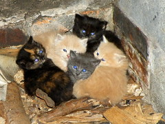 all eyes and fluff (rospix) Tags: uk blue orange cute nature animal animals wales cat eyes kitten may kittens litter 2014 rospix