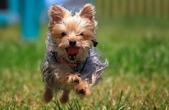 Overdrive (Mario Houben | Photography) Tags: dogs canon bravo florida action miami yorkshireterrier coconutgrove kennedypark mariohouben mariohoubenphotography