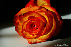 Inferno  (Through Serena's Lens) Tags: flowers macro its rose all superb ngc npc about simply photosandcalendar macroelsalvador excellentsflowers mimamorflowers panoramafotogrfico flowerarebeautiful thebestofmimamorsgroups mixofflowers rosesforeveryone naturesplus enteredinsybcontest
