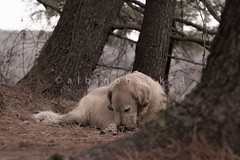 Checking for Crumbs (albinohawk73) Tags: dog lake forest goldenretriever nikon hike rest leroy nikond7100