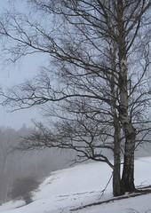 (Gerlinde Hofmann) Tags: germany thuringia village snow mist tree bürden birchtree two nebel cloudysky