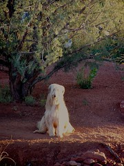 WatchDog (Sedona Clearing House) Tags: light sun love look jack outdoors watch patient sit blonde wait shaggy alert watchdog afghanhound