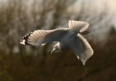 Adult Caspian Gull Watermead CP South November 2014. (davidearlgray) Tags: gull south leicester caspian cp watermead laruscachinnans birdsofleicestershire1
