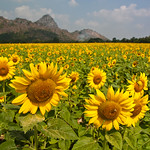 Sunflower field and a mountain thumbnail