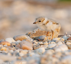 Afternoon chick (v4vodka) Tags: nature animal wildlife chick birdwatching plover pipingplover shorebird charadriusmelodus pipingploverchick birdbirding sieweczkablada