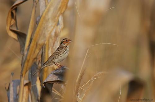 นกจาบปีกอ่อนเล็ก / Little Bunting / Emberiza pusilla