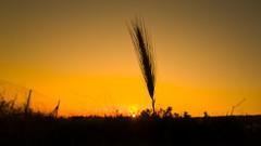 Wheat spike (Hernan Piera) Tags: sunset sun sol field fence atardecer photography reja photo photographer image pic campo spike fotografia imagen fotografo espiga hernanpiera