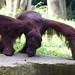 "Orangutan • <a style=""font-size:0.8em;"" href=""http://www.flickr.com/photos/128593753@N06/16355972378/"" target=""_blank"">View on Flickr</a>"