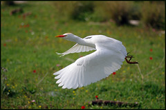 Cattle Egret - Lift off (Ziva_Amir) Tags: white beautiful birds israel lift cattle tel off egret hadid