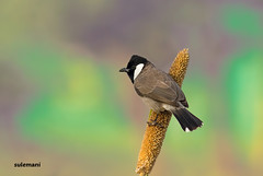 white eared bulbul (TARIQ HAMEED SULEMANI) Tags: travel tourism nature birds trekking sensational tariq supershot theunforgettablepictures sulemani theperfectphotographer tariqhameedsulemani