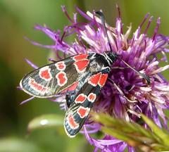 Zygaena carniolica (gailhampshire) Tags: slovenia moths zygaena carniolica taxonomy:binomial=zygaenacarniolica