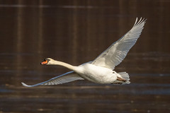 Graceful flight. (tresed47) Tags: birds us swan pennsylvania ngc content places hibernia folder muteswan takenby chestercounty 2015 peterscamera petersphotos canon7d 2015jan 20150116chestercountybirds